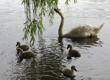 Zwaanfamilie van nest aan het broeden aan kuikens Stock Afbeeldingen