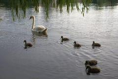 Zwaanfamilie van nest aan het broeden aan kuikens Stock Foto's
