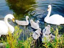 Zwaanfamilie Wij zijn Familie stock foto