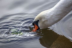 Zwaanspoeling in water het gras Royalty-vrije Stock Afbeelding