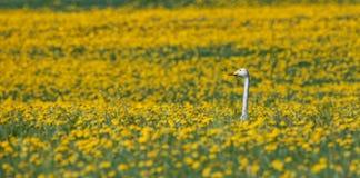 Zwaanzitting in de gele bloemen royalty-vrije stock afbeelding