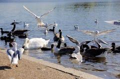 Zwaanzwerm, Serpentine Lake, Hyde Park London stock foto's