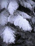 Zwaar gesneeuwde takken van pijnboom Stock Foto's