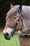Zwaar paard Royalty-vrije Stock Foto