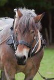 Zwaar paard in uitrusting Royalty-vrije Stock Foto