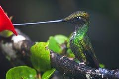 Zwaardkolibrie Svärd-fakturerad kolibri, Ensifera ensifera arkivbilder