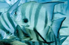 Zwaardvissen Stock Foto
