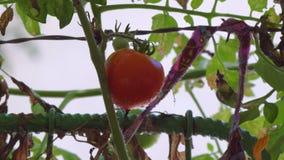 Zwalnia Bocznego ruchu Z Świeżym Czerwonym Pomidorowym obwieszeniem Na roślinie W ogródzie zdjęcie wideo