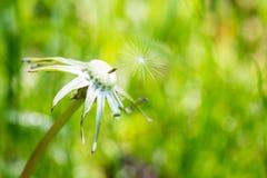 Zwalniający dandelion blowball Obrazy Royalty Free
