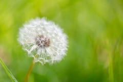 Zwalniający dandelion blowball Fotografia Stock
