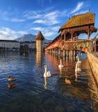 Zwanen bij de Kapelbrug in Luzerne, Zwitserland Stock Afbeeldingen