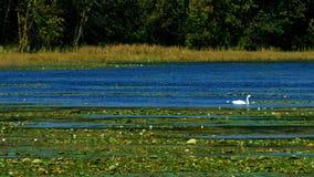 Zwanen in bosmeermoerasland die onder leliestootkussens zwemmen op zonnige dag in Minnesota stock footage
