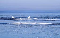 Zwanen in de ijsijsschollen Stock Afbeelding
