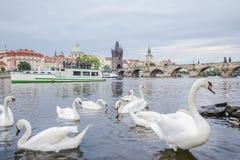 Zwanen in de rivier Vltava Stock Foto