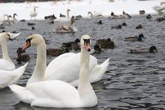 Zwanen in de vijver in de winter Royalty-vrije Stock Afbeelding
