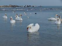 Zwanen in de Zwarte Zee stock fotografie