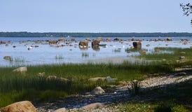 Zwanen dichtbij de kust Stock Foto's