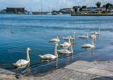 Zwanen die in de Corrib-rivier, Galway, Ierland zwerven stock foto's