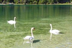 Zwanen die in een meer, Dolomiet, Italië zwemmen royalty-vrije stock foto's