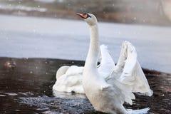 Zwanen die in een vijver zwemmen De winter Stock Foto