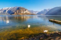 Zwanen die in het meer drijven Stock Afbeelding