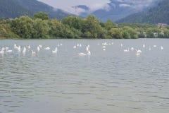 Zwanen die in meer 2 zwemmen Royalty-vrije Stock Afbeeldingen