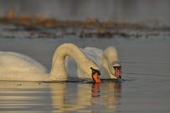 Zwanen die op de rivier zwemmen Een paar vogels op het water Liefde Royalty-vrije Stock Afbeeldingen
