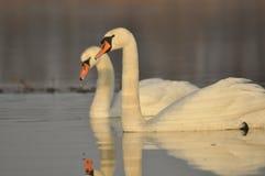 Zwanen die op de rivier zwemmen Een paar vogels op het water Liefde Royalty-vrije Stock Foto