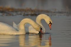 Zwanen die op de rivier zwemmen Een paar vogels op het water Liefde Stock Foto