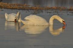 Zwanen die op de rivier zwemmen Een paar vogels op het water Liefde Stock Foto's
