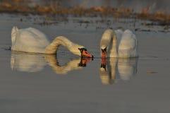 Zwanen die op de rivier zwemmen Een paar vogels op het water Liefde Stock Fotografie
