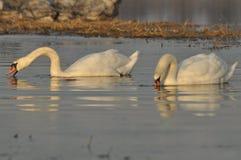 Zwanen die op de rivier zwemmen Een paar vogels op het water Liefde Stock Afbeelding