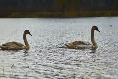 Zwanen die op het meer drijven Stock Afbeeldingen