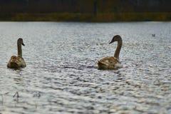Zwanen die op het meer drijven Royalty-vrije Stock Afbeelding