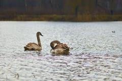 Zwanen die op het meer drijven Stock Foto's