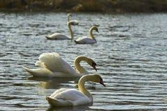 Zwanen die op het meer drijven Royalty-vrije Stock Foto