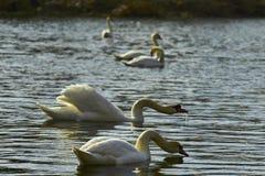 Zwanen die op het meer drijven Royalty-vrije Stock Fotografie