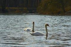 Zwanen die op het meer drijven Royalty-vrije Stock Foto's