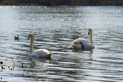 Zwanen die op het meer drijven Royalty-vrije Stock Afbeeldingen