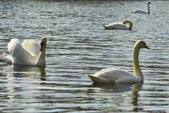 Zwanen die op het meer drijven Stock Fotografie