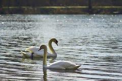 Zwanen die op het meer drijven Stock Afbeelding