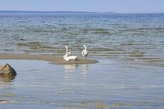 Zwanen die op het zandeiland dichtbij de kustlijn van Balti zitten Royalty-vrije Stock Afbeelding
