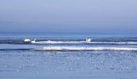 Zwanen die tussen ijsijsschollen zwemmen Stock Foto's