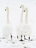 3 zwanen die zich in sneeuw bevinden Stock Foto