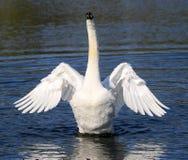 Zwanen die zijn vleugels klappen Stock Foto