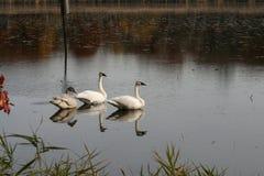 3 zwanen in een meer van Minnesota stock afbeeldingen