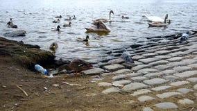 Zwanen, eenden en mannetjeseenden op de rivier in Praag stock video