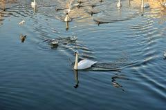 Zwanen, eenden en meeuwen op de rivier stock afbeeldingen