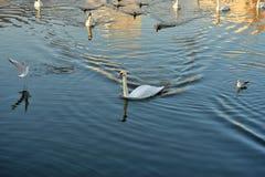Zwanen, eenden en meeuwen op de rivier stock foto's