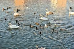 Zwanen, eenden en meeuwen op de rivier stock afbeelding